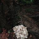 Rooting Cauliflower Mushroom