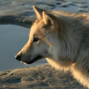 by Viks Pix - Animals - Dogs Portraits ( tundra, malamute, husky, wolf, pyranees, arctic, gsd, timber, wolfdog, shepherd, dog )