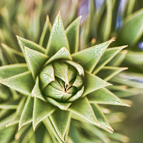 Monkey Puzzle Tree by Judy Wright Lott - Nature Up Close Trees & Bushes ( bellingham, nature, trees, evergreen, spring, growth )