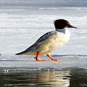 The Common Merganser