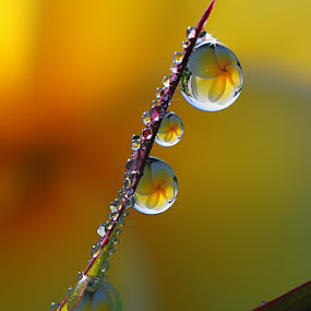 :: Dews :: by Dedy Haryanto - Nature Up Close Natural Waterdrops