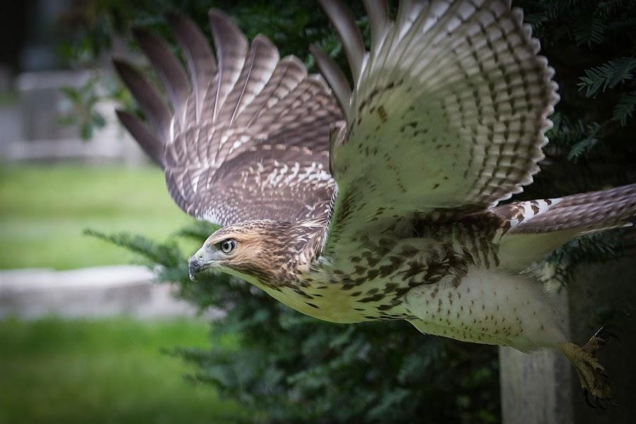 Red-Tailed Hawk by Nicola Salvi - Animals Birds ( red-tailed hawk, boston, 6d, 100-400l, red tail hawk, mount auburn cemetery, bif,  )