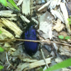 Electric-Blue Ground Beetle