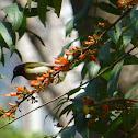 Fork-tailed Sunbird 叉尾太陽鳥