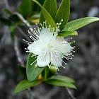 Common myrtle (Μυρτιά)