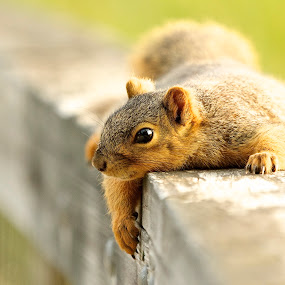 Lounging around by Kimberly Davidson - Animals Other Mammals ( lounging squirrel, common squirrel, nature center, wildlife, squirrel, boardwalk,  )