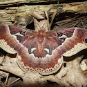 Promethea Silkmoth (female)