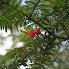 Canadian or American Yew