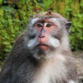 Monkey by Ozge Kesim Yurtsever - Animals Other Mammals ( bali, monkey forest, monkey,  )