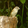Brown Shrike-juvenile