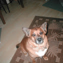 Dog (cody)