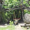 Großer Panda