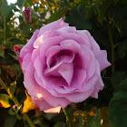 Rosa (capullo atacado por pulgones)