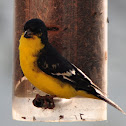 "Lesser Goldfinch ""Texas"" form (male)"