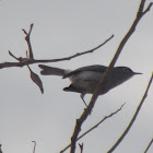 Perlita azul gris, blue-gray gnatcatcher