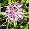 Escarabat de les flors
