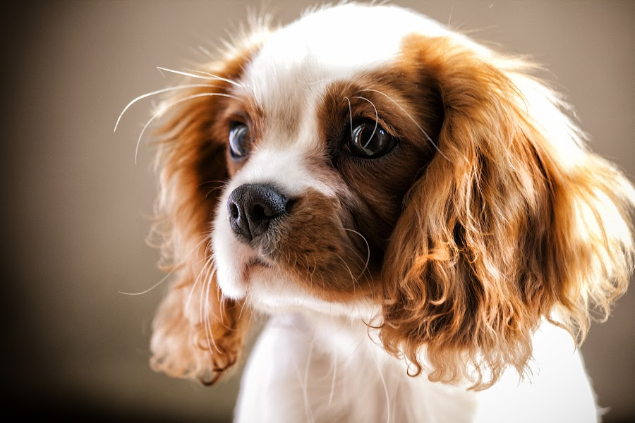 Lilli by Stefano Venturi - Animals - Dogs Portraits ( natural light, cute, king charles spaniel, natural background, adorable dogs, mamal, animal, cavalier, pedigree, animalia, young, portrait, close-up, sit, canine, vertebra, resting, sitting, animal kingdom, female, pet, zoology, rest, dog, companion dog, cavalierking )