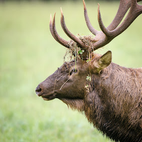 All Dressed Up by Nancy Arehart - Animals Other Mammals ( elk, rack, bull, animal )