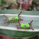 Saddleback caterpillars