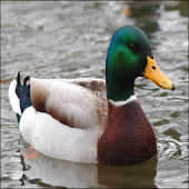 Waterfowl - Duck Calls