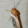 Yellow Spragueia  Moth