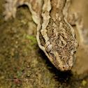 Leschenault's Leaf-toed Gecko