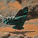 Green-banded Urania