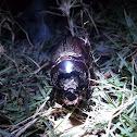 Asiatic rhinoceros beetle