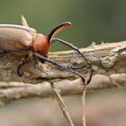 Vertical Corn Beetle