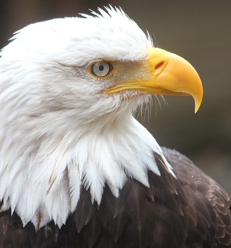 bald-eagle - We got close up to this bald eagle at the Alaska Wildlife Foundation's Raptor Center, outside Ketchikan.