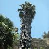 California Fan Palm