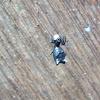 Spiney  Micrathena spider