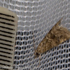 Cabbage Webworm