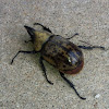 Eastern Hercules Beetle - male