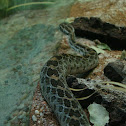 Lance-Headed Rattlesnake