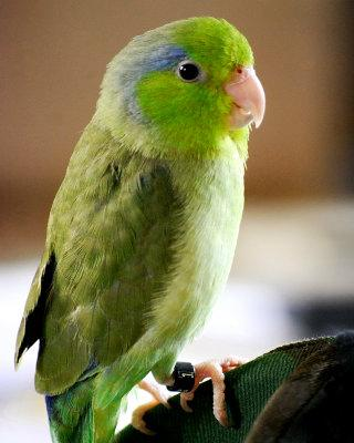 Talking Parrotlet - screenshot