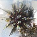 pencil spine urchin