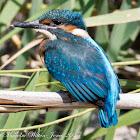 Kingfisher; Martín Pescador