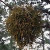 Juniper Mistletoe