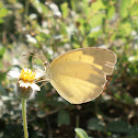 Large Grass Yellow or Common Grass Yellow