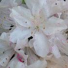 Azalea / Rhododendron