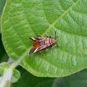 Seed Eating Bug