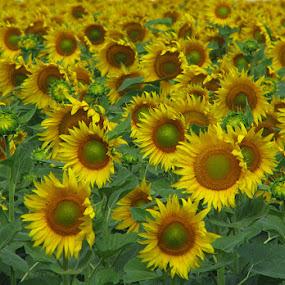 Suflowers by Name of Rose - Flowers Flower Gardens ( sunflowers, flowers, garden )