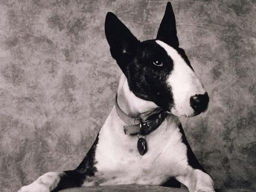 Imagenes de Bull Terrier