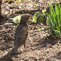 European Starling (juvenile)
