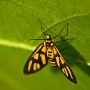 Orange Shoulder Wasp Moth
