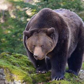 Brown bear by Bostjan Pulko - Animals Other Mammals ( bear )