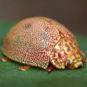 Dotted Paropsine Leaf beetle