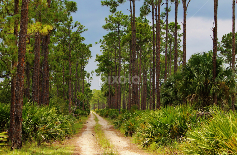 The way out! by Priscilla Renda McDaniel - Landscapes Forests ( palmetto, trees, forest, road, pine, dirt, palms,  )