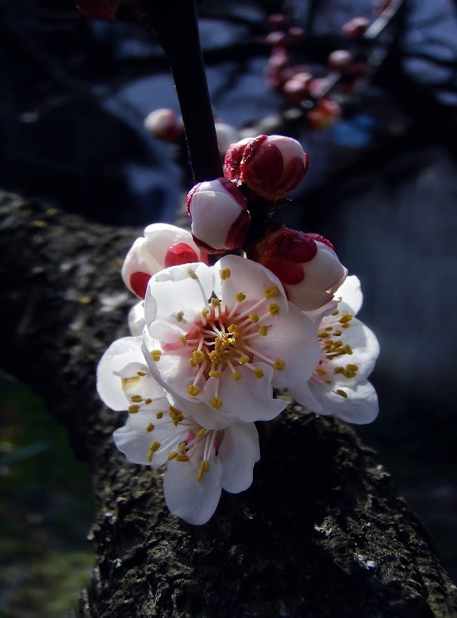 the smell of Spring by Mirela Korolija - Flowers Tree Blossoms